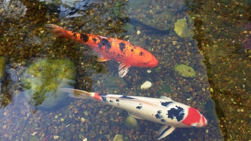 お堀を泳ぐ鯉
