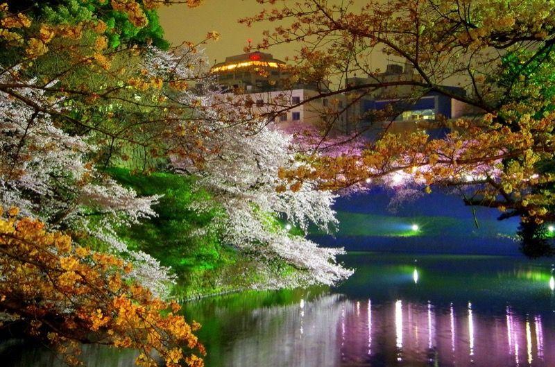 千鳥ヶ淵の桜ライトアップバージョン